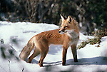 Portrait of Red Fox in the snow.