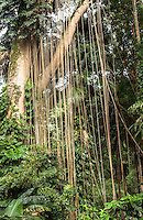 Banyan tree aerial roots at the Harold L. Lyon Arboretum and Botanical Garden, Honolulu, O'ahu.