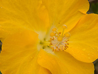 Macro of the state flower, a yellow hibiscus flower.