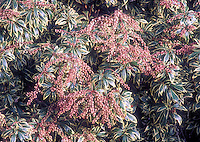 Japanese Andromeda bush Pieris japonica in flower, with cream edged green foliage