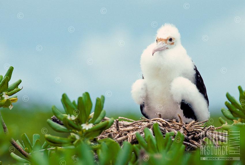 The great frigate bird or iwa, (fregata minor palmerstoni). Nests on the islands of the northwest Hawaiian island chain.