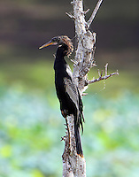 Male anhinga, perhaps completing molt to final adult plumage