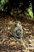 Mosiotunya Reserve, Zambia. Female vervet (Ceropsithecus pygerythrus) monkey with her baby.