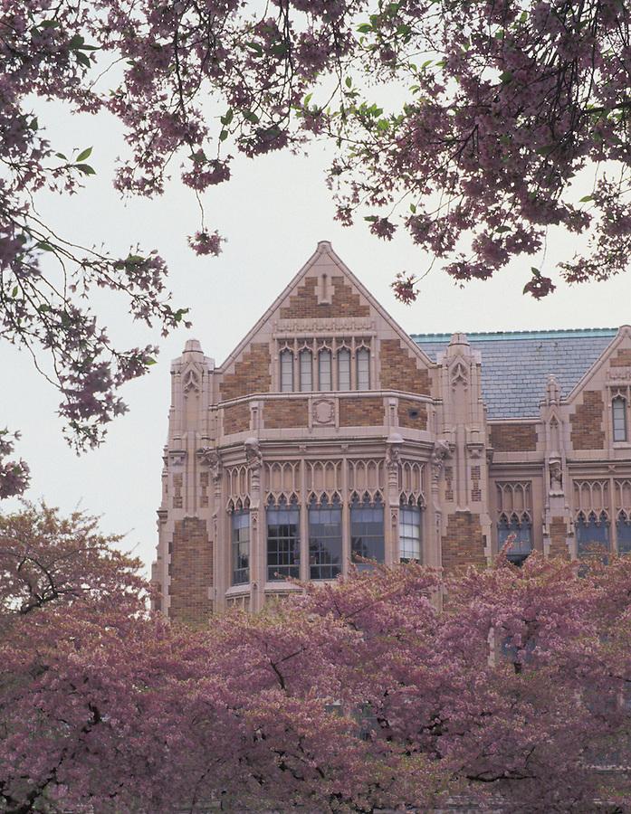 Smith Hall rises above blossoming cherry trees, University of Washington, Seattle, Washington