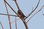 Pearl-spotted owlet roosting during the day in a tree in Etosha National Park, Namibia