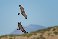 Northern Harrier and Red-tailed Hawk, Bosque del Apache NWR, New Mexico