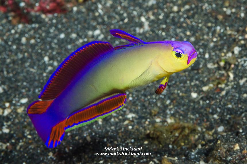 Decorated Dartfish, Nemateleotris decora, Barren Island, Andaman Islands, India, Andaman Sea