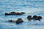 Sea Otters in Kelp in Morro Bay, California