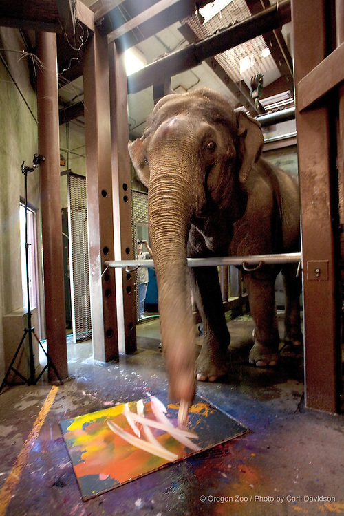 Keeper Jeb Barsh works with bull elephant Rama at the Oregon Zoo. Rama paints as part of his enrichment program. In 2009 Rama raised over $15,000 for the Oregon Zoo Foundation with his paintings.