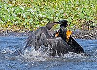Anhingas, Anhinga anhinga, in a violent territorial fight, Polk County, Florida, USA