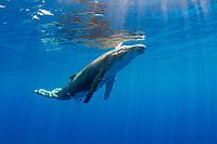 A Humpback Whale calf, Megaptera novaeangliae, ascending for a breath.  Moorea, French Polynesia, Pacific Ocean
