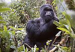 silverback montain gorilla