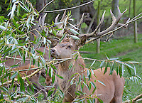 Red Deer stag close-up. Yorkshire.