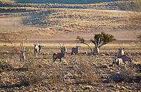 An Oryx herd at the NamibRand Nature Preserve, Safari drive from Sossusvlei Mountain Lodge, Namibia.