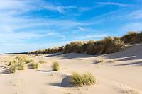 Coastal sand dunes with Marram Grass, one of the Ammophila grasses ( Xerophyte ) at sandy Holkham Beach, North Norfolk coast UK