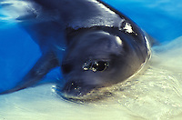The endangered Hawaiian monk seal, latin name: monachus schauinslandi at Sea life Park, Oahu