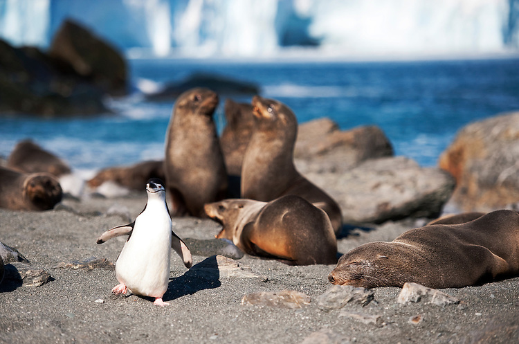 Chinstrap penguin (Pygoscelis antarcticus) and Antarctic fur seal (Arctocephalus gazella), Elephant Island, Antarctica