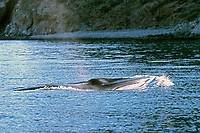fin whale, Balaenoptera physalus, surfacing, Mexico, Sea of Cortez, Pacific Ocean