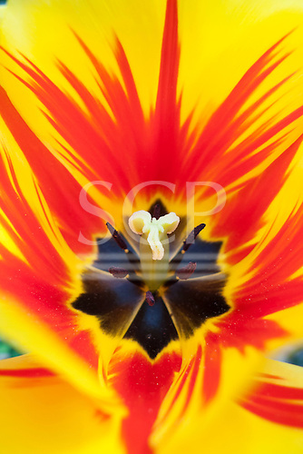 Switzerland. Inside a yellow tulip with black and red design and stamen.