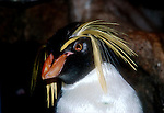 Northern Rock Hopper Penguins