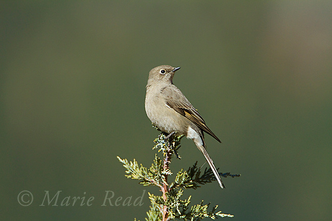 Townsend's Solitaire (Myadestes townsendi), perched on Western Juniper in autumn, Mono Lake Basin, California, USA