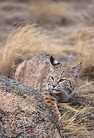 611006098 captive bobcat felis rufus crouched by a rock western us