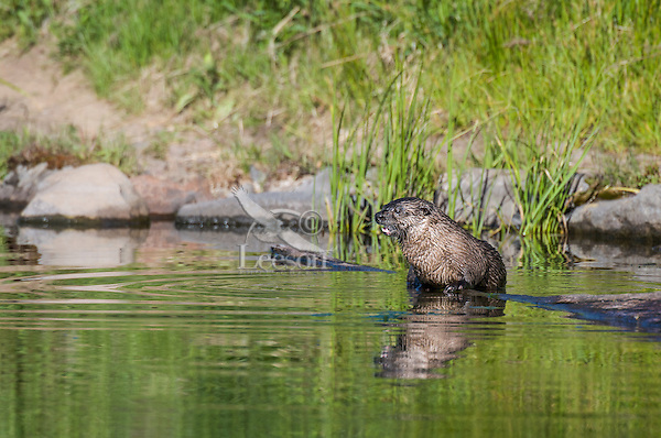 River Otter (Lontra canadensis) reflecting in pond.  Western U.S., summer.