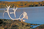 Caribou rack on Great Slave lake