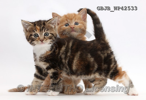 Kim, ANIMALS, REALISTISCHE TIERE, ANIMALES REALISTICOS, fondless, photos,+Ginger and tabby tortoiseshell kittens,++++,GBJBWP42533,#a#