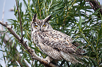 Great Horned Owl, Swan Valley, Idaho