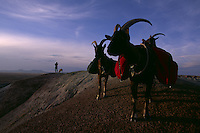 Light-stepping pack goats, favored for their low impact on fragile environments, trail with an outfitter across the Honeycomb Buttes in southwestern Wyoming's Red Desert. Despite its shirfting dunes, wildlife, and undeveloped high desert, this region never won federal protection although it is considered to be one of 15 most endangered wild lands according to the Wilderness Society. Nearby oil and gas development threatens the 600,000 acre national treasure. The high-desert landscape is range for 50,000 pronghorn antelope and a rare desert elk herd.