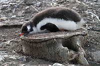 A Gentoo penguin chick rests on an old whale vertebrae, a remnant of the whaling industry in Antarctica.  Taken on Aitcho Island, South Shetland Islands.