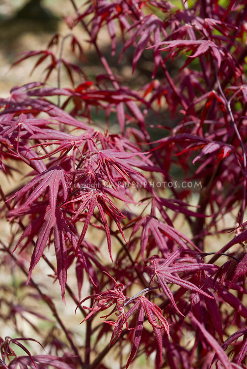 purple foliage plants stock images  images  plant  flower stock, Natural flower