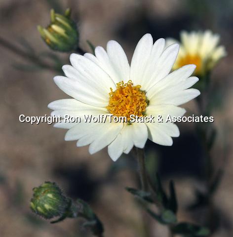 White Tidy Tips (Layia glandulosa). Butterbredt Spring. Kern Co., Calif.