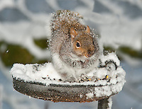 Grey sqirrel on a bird feeder in snow, Whitewell, Lancashire.
