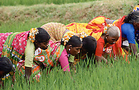 Group of Indian women gathering rice crop, India