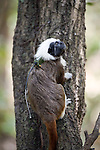 Radio-collared wild Cotton-top tamarin (Saguinus oedipus). Colombia.<br />