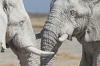 Two big bull elephants standing head to head