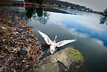 WOLCOTT, CT-122618JS04- A swan spreads it wings as it is released back into Hitchcock Lake in Wolcott on Wednesday.  The swan was rescued by volunteers after getting frozen in ice on November 24th and was rehabilitated at A Place Called Hope in Killingsworth. <br /> Jim Shannon Republican American