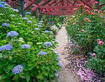 Vashon Island, WA: Hydrangea and rose pergola pathway in Froggsong garden in summer
