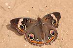 Buckeye male, Junonia coenia, Southern California