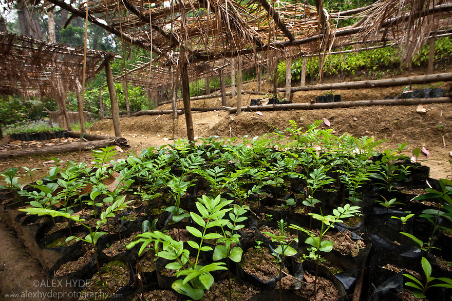 Tree nursery of endemice species, part of a forest restoratation and carbon sequestration scheme that provides a sustainable livelihood for the local population. Tropical rainforest, Mitsinjo reserve, Andasibe-Mantadia National Park, Madagascar.