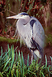 Great blue heron, Skagit Flats, Washington