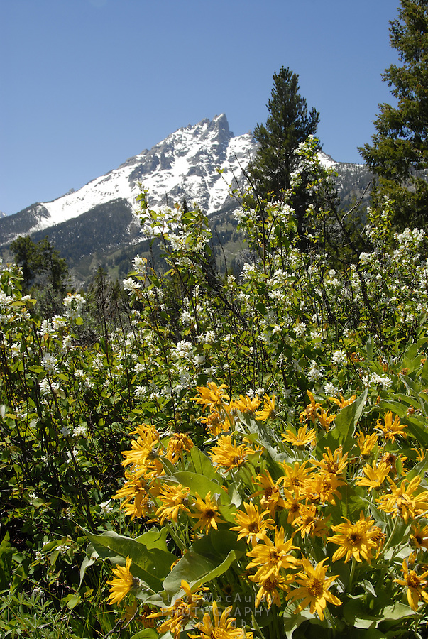 Yellow mule's ear flowers and a snow covered Grand Teton, Grand Teton National Park, Wyoming