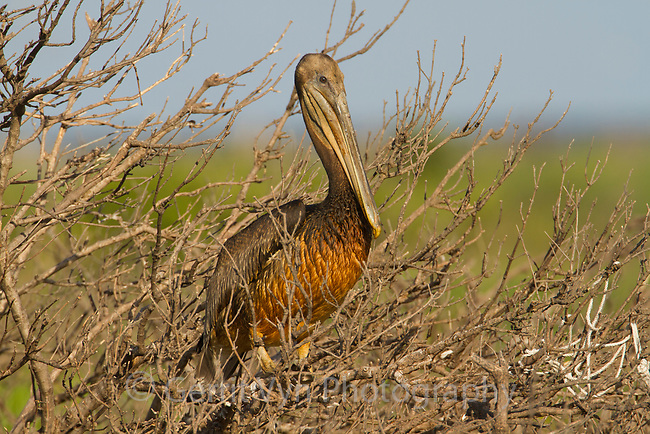 A heavily oiled juvenile Brown Pelican (Pelecanus occidentalis) sits in a mangove in the nesting colony it was born in. Birds like this have little chance of survival as they attempt to make the transition to a life of feeding themselves at sea. Raccoon Island, Terrebonne Parish, Louisiana. July 2010.