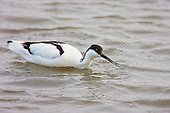 Pied Avocet (Recurvirostra avosetta) Feeding while wading chest deep. The act of feeding or scything is the same motion when using a scythe in cutting grass or harvesting crops. The Avocet colonised Britain when coastal marshes in East Anglia were flooded to provide a defence against possible invasion by the Germans.