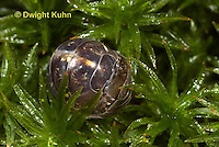 1Y33-672z  Pillbug or Roly Poly uncurling from defensive ball, sequence, Armadillidum vulgare