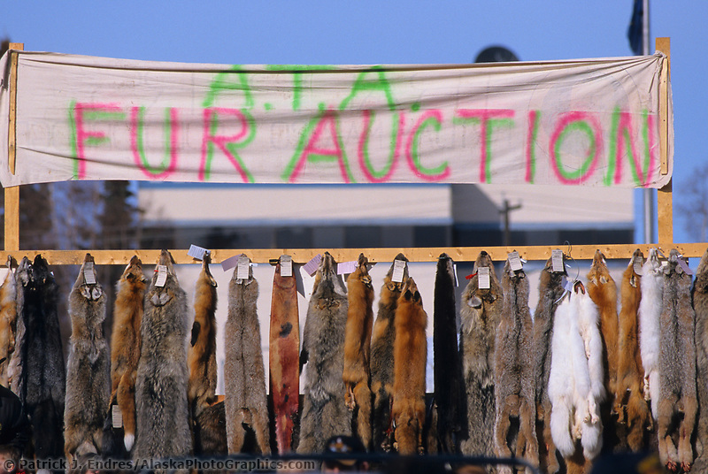 Fur auction during the North American Sled Dog races in downtown Fairbanks, Alaska