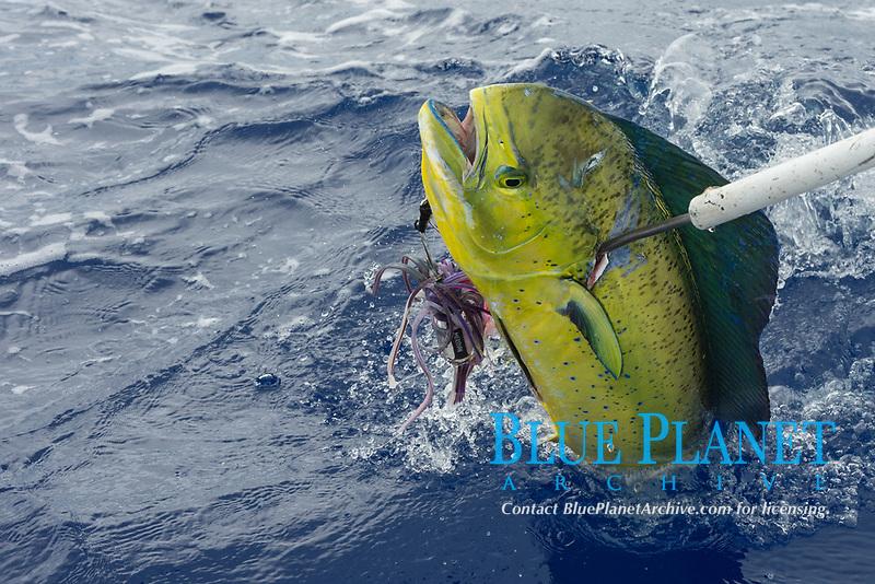 skipper Steve Campbell, on Reel Addiction, gaffs a mahimahi, dorado, or dolphinfish, Coryphaena hippurus, Vava'u, Kingdom of Tonga, South Pacific Ocean