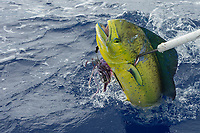 skipper Steve Campbell, on Reel Addiction, gaffs a mahimahi, dorado, or dolphinfish, Coryphaena hippurus, Vava'u, Kingdom of Tonga, South Pacific Ocean